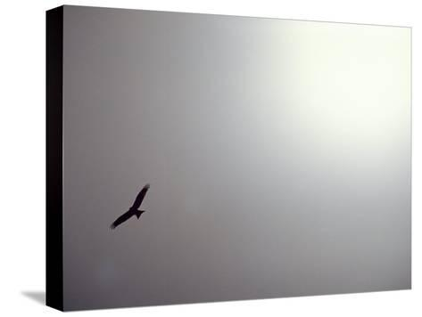 Black Kite (Milvus Migrans) Against a Gray and White Sky-Jason Edwards-Stretched Canvas Print