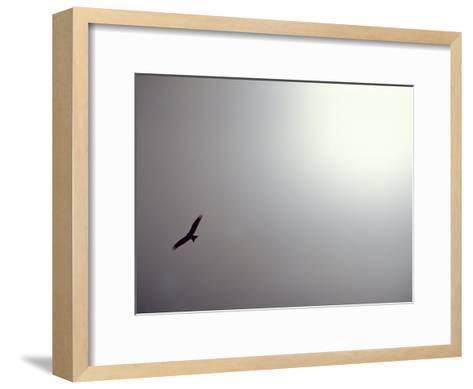 Black Kite (Milvus Migrans) Against a Gray and White Sky-Jason Edwards-Framed Art Print