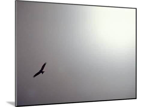 Black Kite (Milvus Migrans) Against a Gray and White Sky-Jason Edwards-Mounted Photographic Print