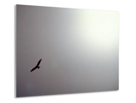 Black Kite (Milvus Migrans) Against a Gray and White Sky-Jason Edwards-Metal Print