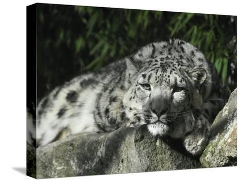 Snow Leopard Takes Time Out to Rest its Huge Head on a Rock Ledge-Jason Edwards-Stretched Canvas Print