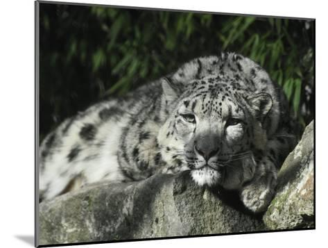 Snow Leopard Takes Time Out to Rest its Huge Head on a Rock Ledge-Jason Edwards-Mounted Photographic Print