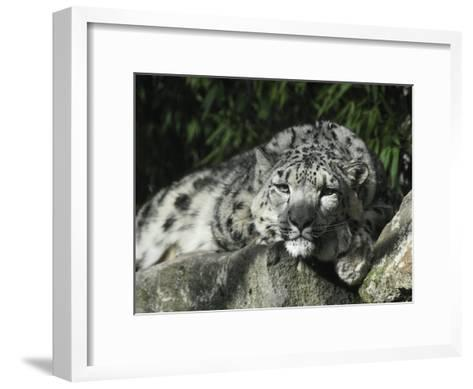 Snow Leopard Takes Time Out to Rest its Huge Head on a Rock Ledge-Jason Edwards-Framed Art Print