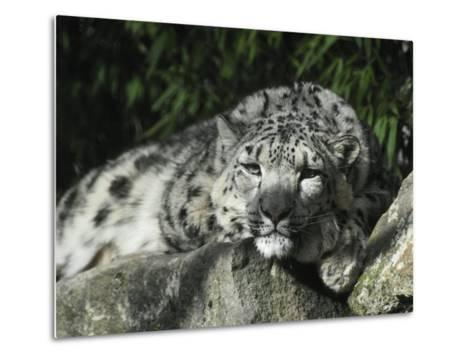 Snow Leopard Takes Time Out to Rest its Huge Head on a Rock Ledge-Jason Edwards-Metal Print