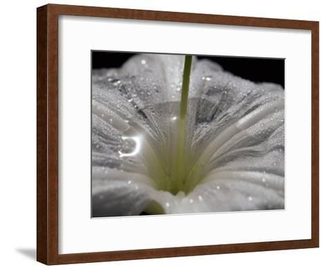 Raindrops Caught in a Crinum Flower Aka the Swamp Lily or Spider Lily-Jason Edwards-Framed Art Print