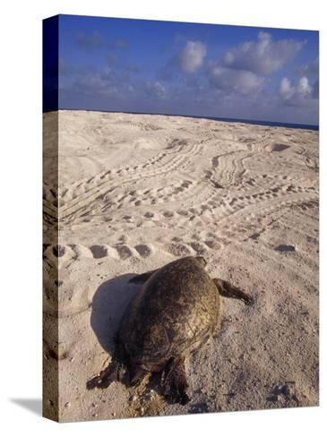 Dead Endangered Green Sea Turtle in Sand on a Barren Nesting Island-Jason Edwards-Stretched Canvas Print