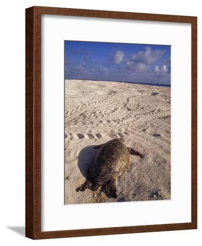 Dead Endangered Green Sea Turtle in Sand on a Barren Nesting Island-Jason Edwards-Framed Art Print