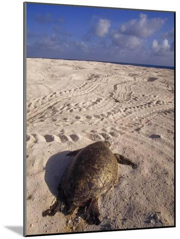 Dead Endangered Green Sea Turtle in Sand on a Barren Nesting Island-Jason Edwards-Mounted Photographic Print
