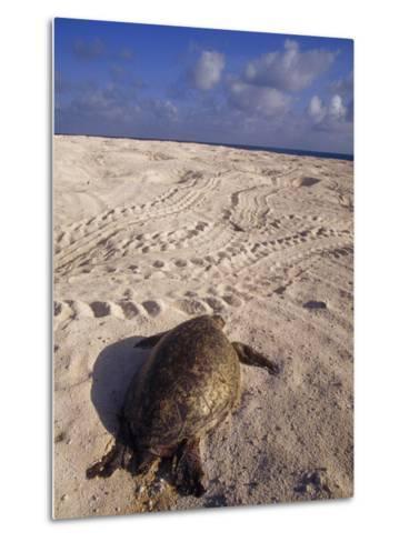 Dead Endangered Green Sea Turtle in Sand on a Barren Nesting Island-Jason Edwards-Metal Print