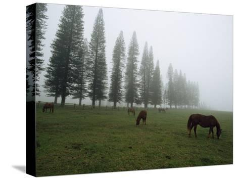 Horses Graze in Fog Near a Stand of Norfolk Island Pine Trees-Paul Chesley-Stretched Canvas Print