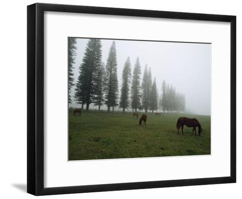 Horses Graze in Fog Near a Stand of Norfolk Island Pine Trees-Paul Chesley-Framed Art Print