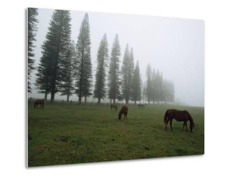 Horses Graze in Fog Near a Stand of Norfolk Island Pine Trees-Paul Chesley-Metal Print