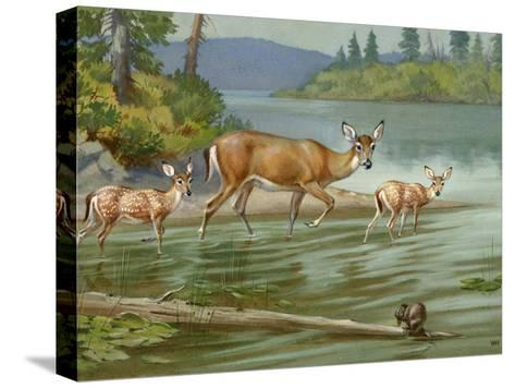 Doe and Her Fawns Walk Cautiously into the Water-Walter Weber-Stretched Canvas Print