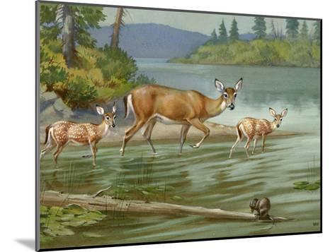 Doe and Her Fawns Walk Cautiously into the Water-Walter Weber-Mounted Photographic Print