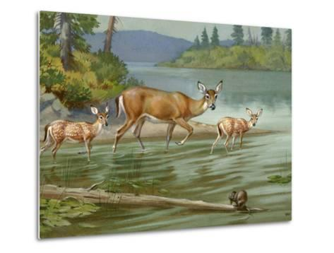 Doe and Her Fawns Walk Cautiously into the Water-Walter Weber-Metal Print
