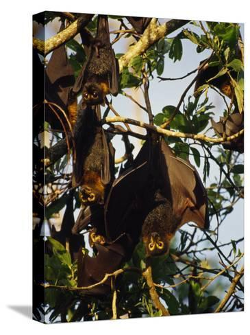 Spectacled Flying Fox Bats Roost in a Rainforest Smashed by a Cyclone-Jason Edwards-Stretched Canvas Print