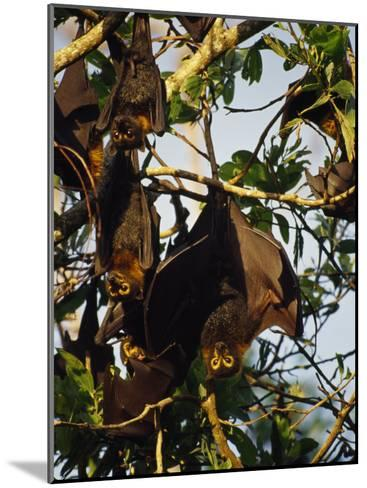 Spectacled Flying Fox Bats Roost in a Rainforest Smashed by a Cyclone-Jason Edwards-Mounted Photographic Print