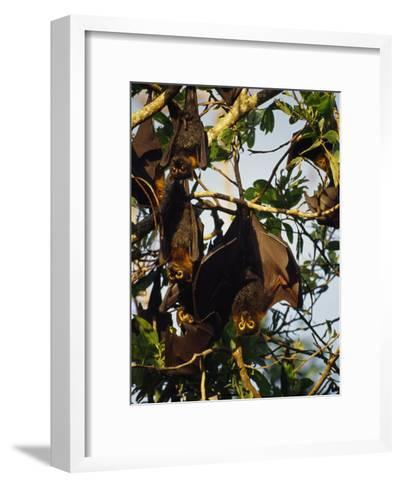 Spectacled Flying Fox Bats Roost in a Rainforest Smashed by a Cyclone-Jason Edwards-Framed Art Print