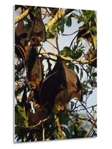 Spectacled Flying Fox Bats Roost in a Rainforest Smashed by a Cyclone-Jason Edwards-Metal Print