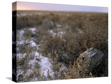 Desert Cottontail Rabbit Camouflaged in Snow Covered Grassland-Joel Sartore-Stretched Canvas Print