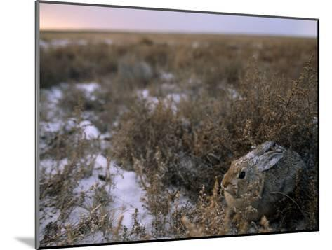 Desert Cottontail Rabbit Camouflaged in Snow Covered Grassland-Joel Sartore-Mounted Photographic Print