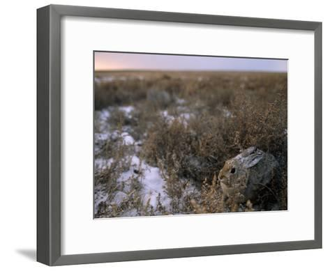 Desert Cottontail Rabbit Camouflaged in Snow Covered Grassland-Joel Sartore-Framed Art Print