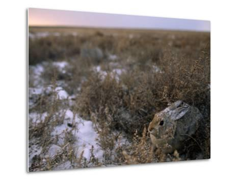 Desert Cottontail Rabbit Camouflaged in Snow Covered Grassland-Joel Sartore-Metal Print