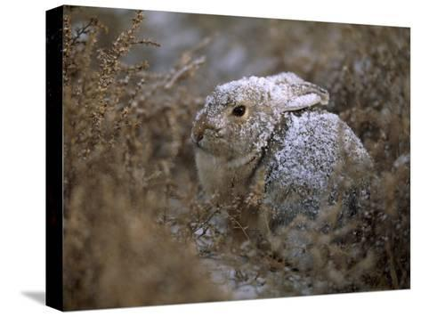 Snow Dusted Desert Cottontail Rabbit Camouflaged in Grassland-Joel Sartore-Stretched Canvas Print