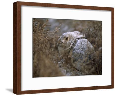 Snow Dusted Desert Cottontail Rabbit Camouflaged in Grassland-Joel Sartore-Framed Art Print