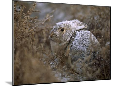 Snow Dusted Desert Cottontail Rabbit Camouflaged in Grassland-Joel Sartore-Mounted Photographic Print