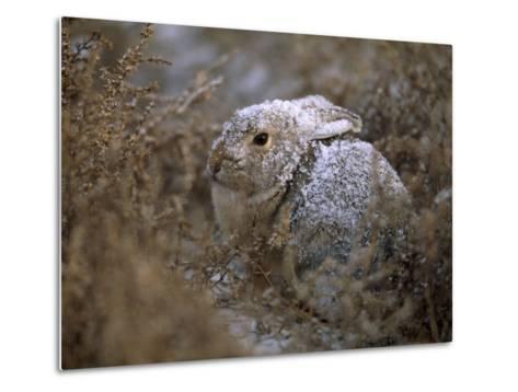 Snow Dusted Desert Cottontail Rabbit Camouflaged in Grassland-Joel Sartore-Metal Print