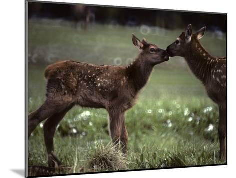 Calf Elk Get to Know Each Other-Michael S^ Quinton-Mounted Photographic Print