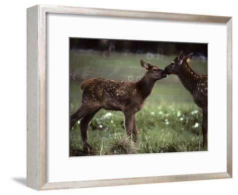 Calf Elk Get to Know Each Other-Michael S^ Quinton-Framed Art Print