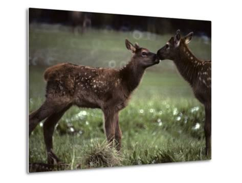Calf Elk Get to Know Each Other-Michael S^ Quinton-Metal Print