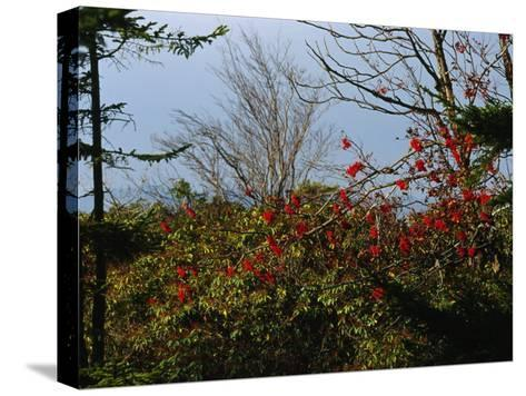 Branch with Red Berries Among Mountain Laurel, and Leafless Trees-Raymond Gehman-Stretched Canvas Print