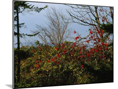 Branch with Red Berries Among Mountain Laurel, and Leafless Trees-Raymond Gehman-Mounted Photographic Print
