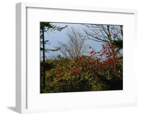 Branch with Red Berries Among Mountain Laurel, and Leafless Trees-Raymond Gehman-Framed Art Print