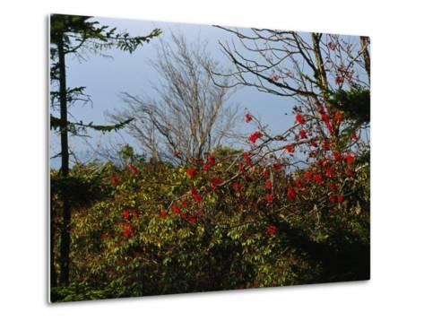 Branch with Red Berries Among Mountain Laurel, and Leafless Trees-Raymond Gehman-Metal Print