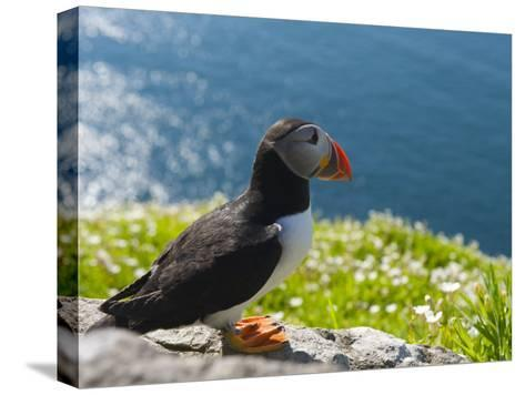 Atlantic Puffins, Fratercula Arctica, Nesting on Skellig Michael-Keenpress-Stretched Canvas Print