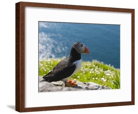 Atlantic Puffins, Fratercula Arctica, Nesting on Skellig Michael-Keenpress-Framed Art Print