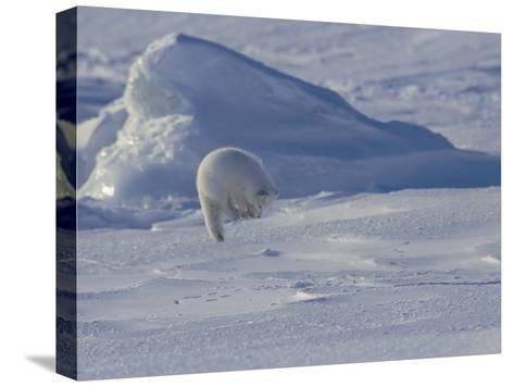 White Arctic Fox (Alopex Lagopus) Jumps on a Ringed Seal Pup Den-Norbert Rosing-Stretched Canvas Print