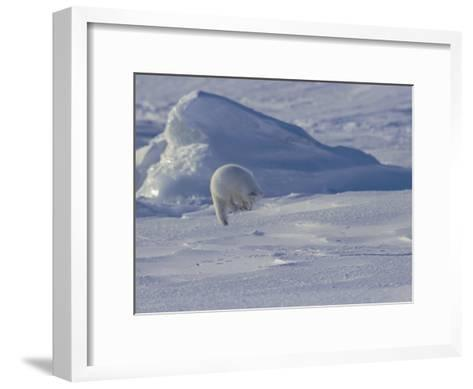 White Arctic Fox (Alopex Lagopus) Jumps on a Ringed Seal Pup Den-Norbert Rosing-Framed Art Print