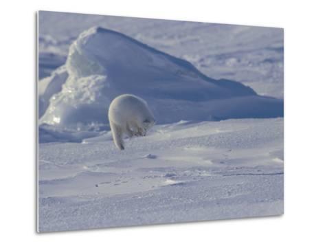 White Arctic Fox (Alopex Lagopus) Jumps on a Ringed Seal Pup Den-Norbert Rosing-Metal Print