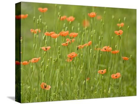 Orange California Poppies Blooming in a Green Field-Greg Dale-Stretched Canvas Print