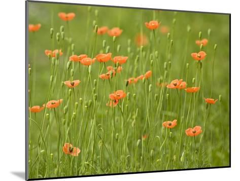 Orange California Poppies Blooming in a Green Field-Greg Dale-Mounted Photographic Print