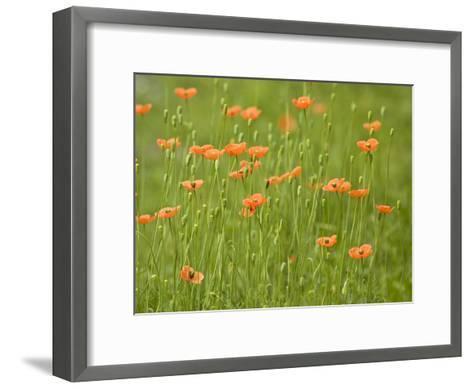 Orange California Poppies Blooming in a Green Field-Greg Dale-Framed Art Print