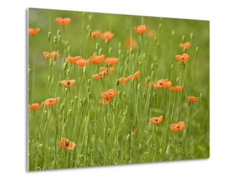 Orange California Poppies Blooming in a Green Field-Greg Dale-Metal Print