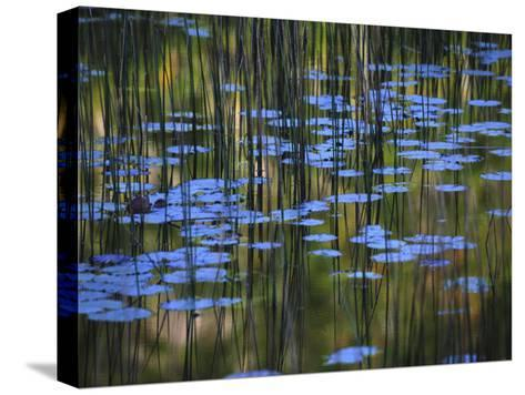 Leaves and Reflections of Fall Foliage and Grasses in the Tarn-Michael Melford-Stretched Canvas Print