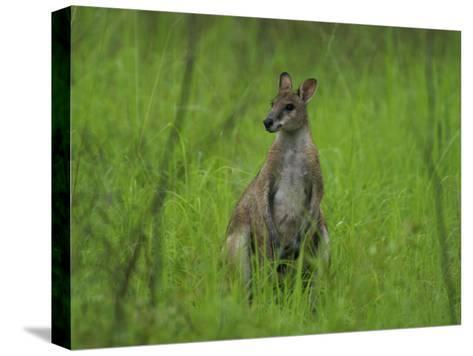 Portrait of a Wallaby-Randy Olson-Stretched Canvas Print