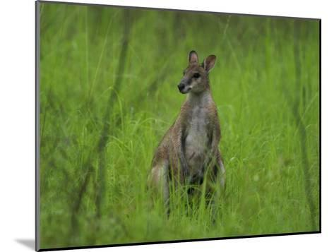 Portrait of a Wallaby-Randy Olson-Mounted Photographic Print